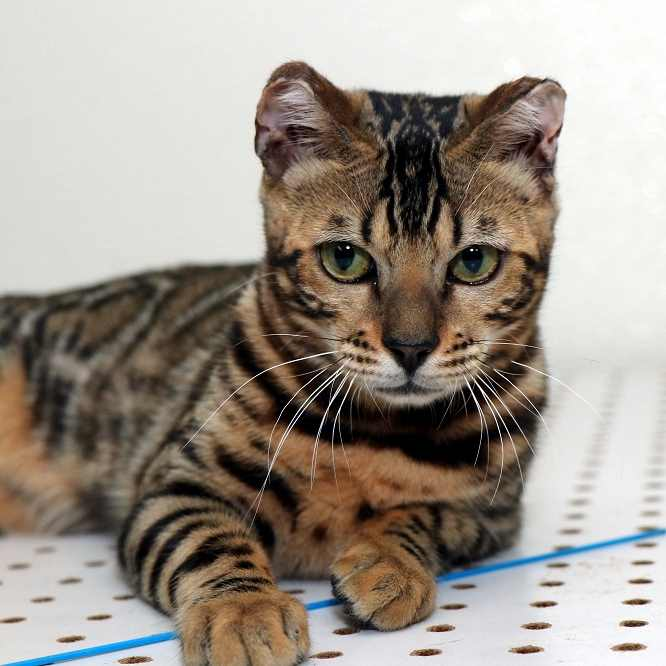Breeders of Bengal Cats | Kitten for Sales | Rising Sun Farm
